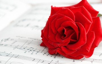 цветок, ноты, роза, лепестки, алая роза
