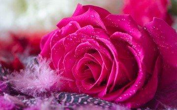 цветок, капли, роза, лепестки, бутон, пух, пушинка