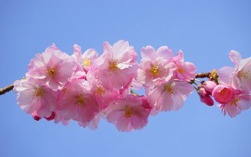 цветы, ветка, природа, цветение, лепестки, весна, розовые, сакура