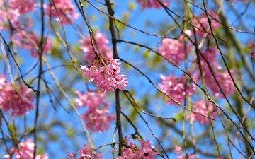 небо, природа, дерево, цветение, листья, ветки, лепестки, весна