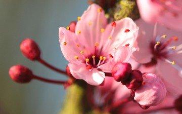 цветы, природа, цветение, макро, лепестки, весна, крупным планом