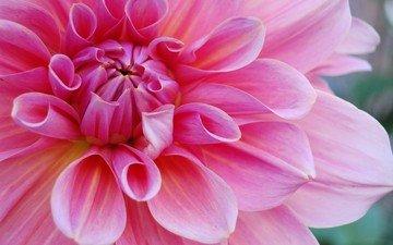 цветок, лепестки, розовый, георгин, крупным планом