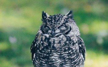 owl, bird, closed eyes