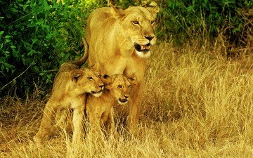 the cubs, lioness