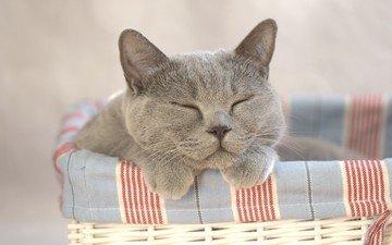 cat, basket