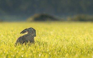 трава, поле, ушки, заяц