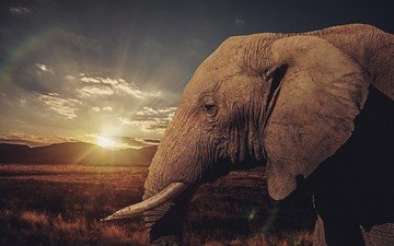 закат, слон, профиль, уши, саванна, бивни