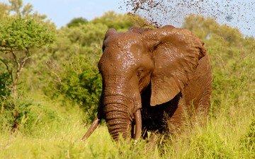 трава, природа, зелень, слон, уши, бивни