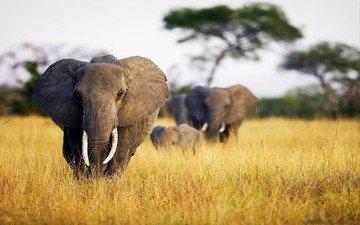слон, уши, слоны, сухая трава, бивни