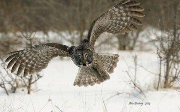 сова, снег, зима, полет, крылья, птица, неясыть