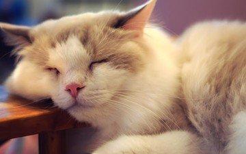 кот, мордочка, кошка, спит