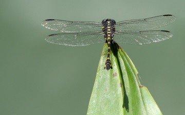насекомое, крылья, стрекоза