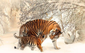 tiger, face, trees, snow, winter, predator