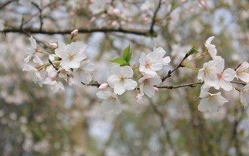 nature, flowering, branches, spring, bokeh