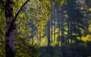 деревья, листья, береза