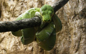 змея, отдых, зеленая, питон