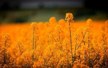 цветы, поле, рапс