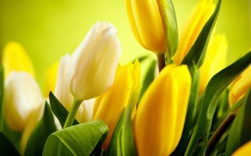 цветы, тюльпаны, желтые