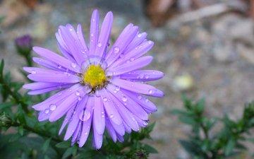 цветок, капли, лепестки, астра