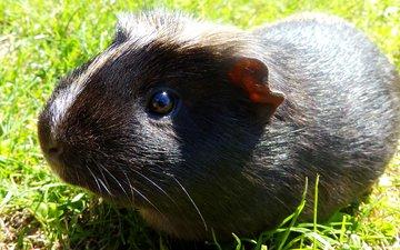 grass, black, rodent, guinea pig