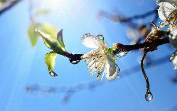 flowering, drops, spring, apple