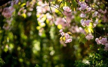 flowering, blur, spring, sakura, bokeh