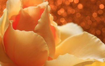 flower, rose, petals, glare, yellow