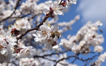 flowers, flowering, insects, spring, apricot