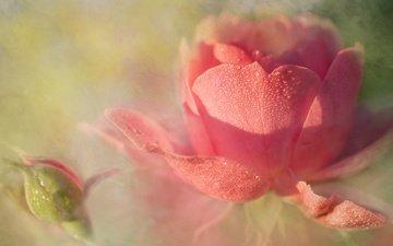 цветы, арт, бутоны, фон, цветок, роса, капли, розы, роза, лепестки, бутон, дымка, светлый, растворение, нежно, пастельные тона