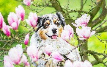 цветы, австралийская овчарка, аусси