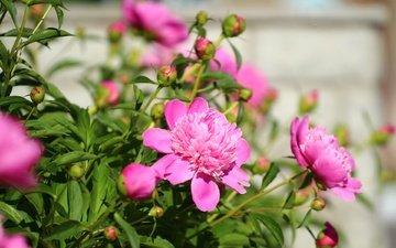 цветы, зелень, листья, фон, лепестки, пионы