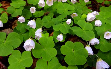 flowers, leaves, petals, oxalis, hare cabbage
