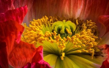 flowers, macro, red, pistil, stamens, mac, close-up