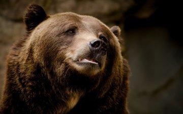 background, bear, animal, brown bear
