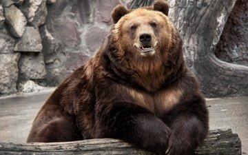 background, bear