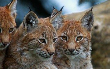 eyes, face, lynx