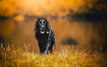 grass, black, labrador, wet