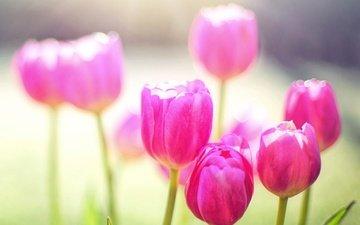 лепестки, весна, тюльпан