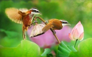 leaves, birds, bud, lotus, pair, tropics