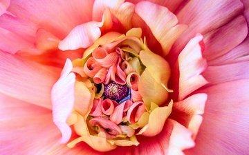 макро, цветок, лепестки, розовый, георгин
