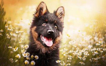 face, flowers, dog, puppy, chamomile, language, german shepherd, kristýna kvapilová