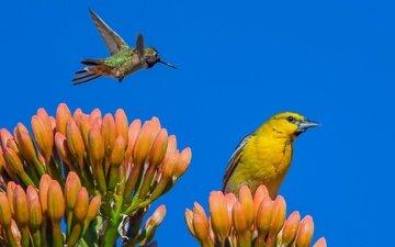 небо, цветы, фон, крылья, птицы, колибри, иволга