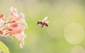 цветы, природа, насекомое, фон, цветок, крылья, пчела