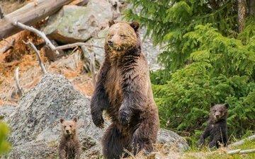 природа, хищник, семья, медведи, медвежата