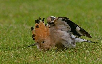 птица, удод