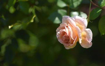 роза, бутон, боке