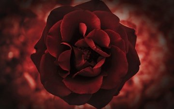 роза, лепестки, бутон
