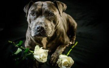 roses, dog