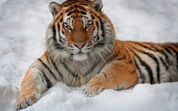 tiger, snow
