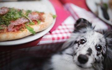 собака, пицца, шелти, шетландская овчарка